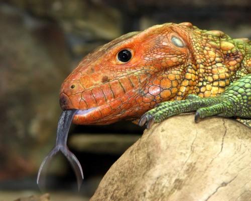 forked_tongue iguana (500 x 402)